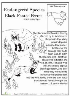 Earth Day Fourth Grade Life Science Comprehension Worksheets: Endangered Species: Black-Footed Ferret
