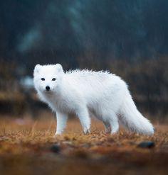 """beautiful-wildlife: """"Arctic Fox, Iceland by © Lizzy Gadd """""""