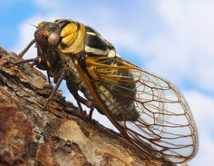 The Cicada's Love Affair with Prime Numbers by Patrick di Justo, newyorker. Photo by  Ocean/Corbis. #Cicadas