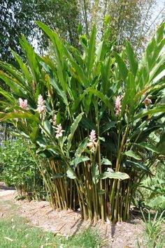Gingers | Alpinia zerumbet 'Giant Pink' from Bamboo Land Nursery (QLD Australia)