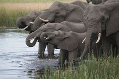 Tucked in between the Okavango Delta and Chobe National Park in Botswana, the Selinda Reserve is a refuge for African wildlife renowned for its protected populations of elephants, hippopotamuses, giraffes, cheetahs and buffaloes. It is home to leopards, zebras, hyenas, kudu antelope, impalas, wild cats and many varieties of egret. It is also the kingdom of the African wild dog, a rare predator.