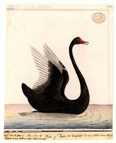 swan illustration | Recent Photos The Commons Getty Collection Galleries World Map App ...
