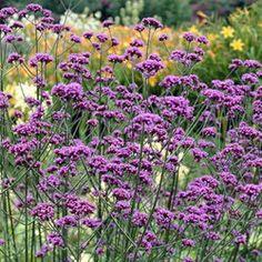 Verbena bonariensis - Parkers Wholesale