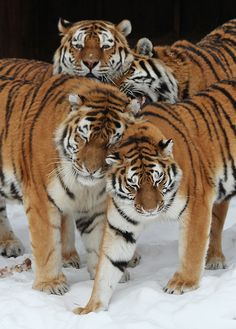 Tiger Fact: A male Tiger will let the female & cubs eat first when they are all present at a kill. (Unlike a Lion! by Tomas Öhberg. Beautiful Cats, Animals Beautiful, Cute Animals, Wild Animals, Baby Animals, Big Cats, Cool Cats, Grand Chat, Save The Tiger