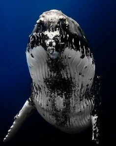 """A Humpback Whale: """"I Can 'Sea' You!"""" (This was the incredible moment when an underwater photographer came nose-to-nose with this magnificent Humpback Whale! Underwater Creatures, Underwater Life, Ocean Creatures, Orcas, Save The Whales, Underwater Photographer, Humpback Whale, Whale Sharks, Tier Fotos"""