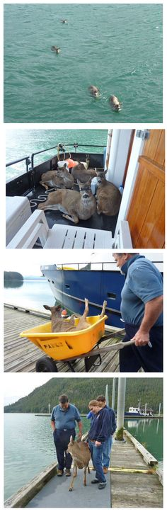 people saving animals, and animals letting themselves be saved.   -'Tom Satre told the Sitka Gazette that he was out with a charter group on his 62-foot fishing vessel when four juvenile black-tailed deer swam directly toward his boat.   This is the picture story of the human-animal bond. Thank you Tom Satre and the Sitka Gazette for this story.'