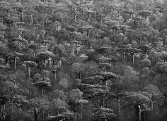 Gênesis | O tronco grosso do baobá-de-grandidier parece completamente…