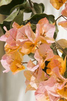 Bougenvillea Lanzarote, San Bartolome, Canary Islands, Spain Taken on March 2015 Exotic Flowers, Orange Flowers, Tropical Flowers, Tropical Plants, Amazing Flowers, Beautiful Flowers, Ikebana, Passion Flower, Types Of Flowers