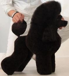 Not a big fan of black poodles I like more the greys,blues,cream,whites, chocolates etc... but look at that groom style wow