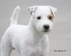 long haired jack russel - - Our Willow's breed