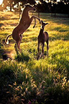 Foals playing at sundown
