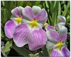 Portal Multiflora: Miltoniopsis sp