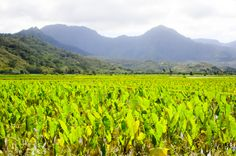 Taro fields of great beach - north shore Places To Travel, Places To See, Places Ive Been, Hawaiian Islands, Hawaii Travel, Beautiful Islands, Kauai, Road Trip, Fields