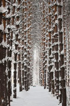 Winter Snow Clustering in Trees Forrest.Siberia by Artem Dunkel