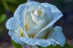 Róża, Błękitna, Krople, Rosy