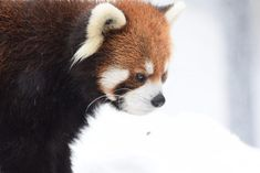 エイタ red panda レッサーパンダ 円山動物園