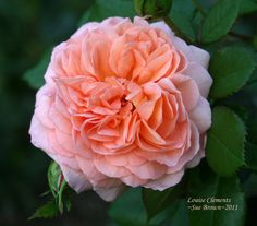 Flowers make me Happy! Louise Clements rose