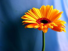 Orange Gerbera Daisy: Yowsers! Look at those complementary colors!