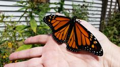 Big male released 8-16-15 (#15)