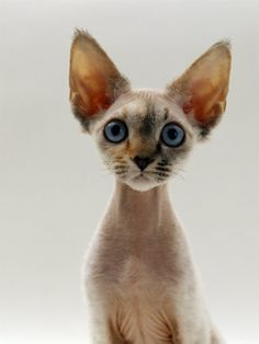 devon rex: a type of cat that is hypoallergenic(its nearly hairless, but the hair it does have is very soft and either wavy or curly) with adorable facial features, just look at those supersized ears and eyes! may be my next pet.