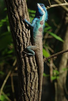 Blue crested lizard (Calotes mystaceus)