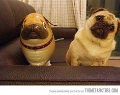 Mr. Pug is very confused      hahahahhahahahahahahhahahahaha <3