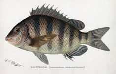 1000 images about gulf coast fishing on pinterest red for Sheepshead fish eating