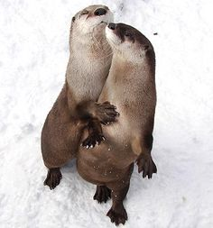 River otters, Hutchinson Zoo