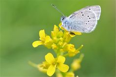wild mustard flowers with butterfly (Sinapis arvensis) - Version 2 Mustard Flowers, Yellow Fields, Kodak Moment, Photo Tips, Photo Ideas, Beautiful Dream, Photography Tips, Photographers, Manual