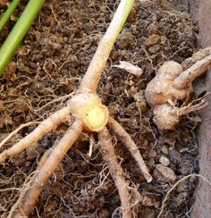 Evinizde Zencefil Yetiştirmek ister misiniz? - Faydalı Bilgin Carrots, Vegetables, Plants, Food, Gardens, Fitness, Essen, Outdoor Gardens, Carrot