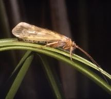 Caddisfly, common name for certain aquatic insects that resemble small moths. The wings of caddisflies are covered with small hairs, distinguishing them from the scaled wings typical of moths. About 4500 species exist worldwide;