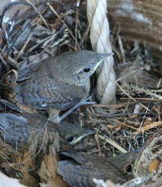 Bye Bye Baby Wrens. It's been fun to watch you grow. #dan330 http://livedan330.com/2015/06/26/goodbye-baby-wrens/