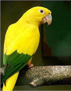 parrot brazil.