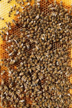 Bees work on honeycomb by Urs Siedentop & Co