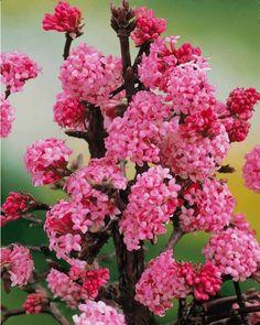 Viorne Rose COMMENT LES PLANTER ? Avec Willemse, planter Viorne Rose est simple ! Avant tout, pensez que pour bien se développer, les arbres, arbustes, grimpantes ou conifères ont besoin de bien s'enraciner. Pour cela, ils doivent disposer d'un sol ameubli en largeur et en profondeur. Creusez un trou important au fond duquel vous mettrez un lit d'engrais avec un mélange de terreau et de terre de votre jardin. Selon le conditionnement livré de Viorne Rose, laissez tremper auparavant les…