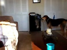 Rocky Fetches a Beer from the Fridge!! Best Dog Trick
