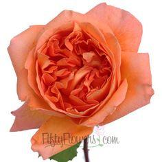 FiftyFlowers.com - Garden Rose Rene Goscinny - 36 Cabbage Roses for $149.99