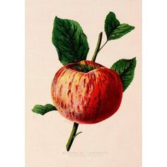 Canadian Horticulturalist 1888-96 Winter St Lawrence Apple Canvas Art - Unknown (24 x 36)