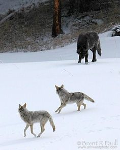 Uh oh  (wolf vs 2 coyotes)