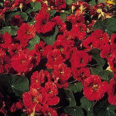 edible plant - Nasturtium 'Mahogany Jewel' Tropaeolum majus, Indian Cress