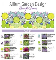 Allium garden - Bountiful Blooms, a jeweled tone perennial border highlighting the spherical, fluffy heads of alliums from Longfield Gardens and Thinking Outside the Boxwood - Garden Care, Garden Design and Gardening Supplies