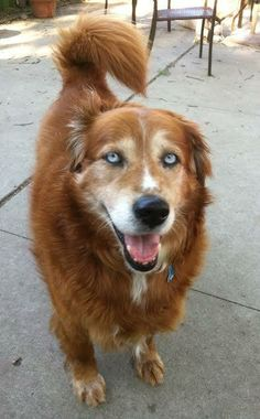 Griz - Golden Retriever/Husky mix - Male - 7 yrs old - Project Hope Animal Rescue - Coldwater, MI. - https://www.facebook.com/pages/Project-Hope-Animal-Rescue/217437608296575 - http://www.adoptapet.com/pet/10894140-coldwater-michigan-golden-retriever-mix - https://www.petfinder.com/petdetail/29377195/