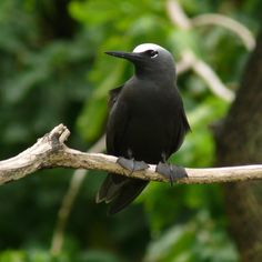 Black Noddy (Anous minutus)