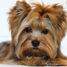 Colorful Yorkies has 2018 Exotic Colored Yorkies Puppies For Sale! Financing available, Next day shipping, This is your only Puppy spot. Perros Yorkshire Toy, Micro Yorkies, Biewer Yorkie, Puppies For Sale, Adorable Animals, Doggies, Exotic, Hearts, Ocean