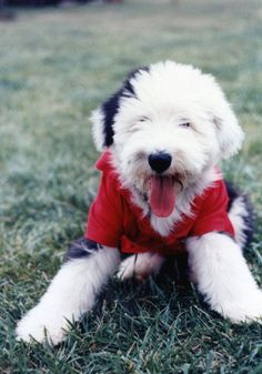 OES Little Annie the Sheepdog is styling in her red shirt!