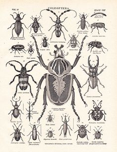 Coleoptera, antique beetle print, this site is a good source for vintage illustrations. #vintagebeetleprint #beetles #coleoptera