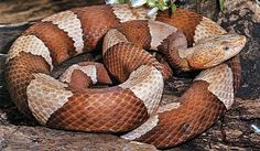 Learn to Recognize Venomous Snakes-here in southern Oklahoma, article at the noble foundation website  http://www.noble.org/ag/wildlife/snakes/