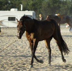 The purpose of showing a yearling in a longe-line class is to demonstrate the horse has the movement, manner and conformation to be competitive under saddle. Journal photo.
