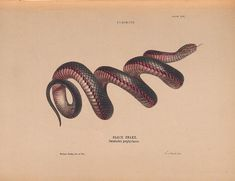 Helena Forde Black Snake, Pseudechis Porphyriacus print for sale. Shop for Helena Forde Black Snake, Pseudechis Porphyriacus painting and frame at discount price, ships in 24 hours. Snake Painting, Chemistry Set, Google Art Project, Science Illustration, Art Curriculum, Plate, Zoology, Natural History, Art Google