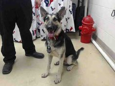 8/17    Help!   This DOG - ID#A465692 - URGENT - Harris County Animal Shelter in Houston, Texas - ADOPT OR FOSTER - 2 year old Male German Shepherd - at the shelter since Aug 10, 2016.